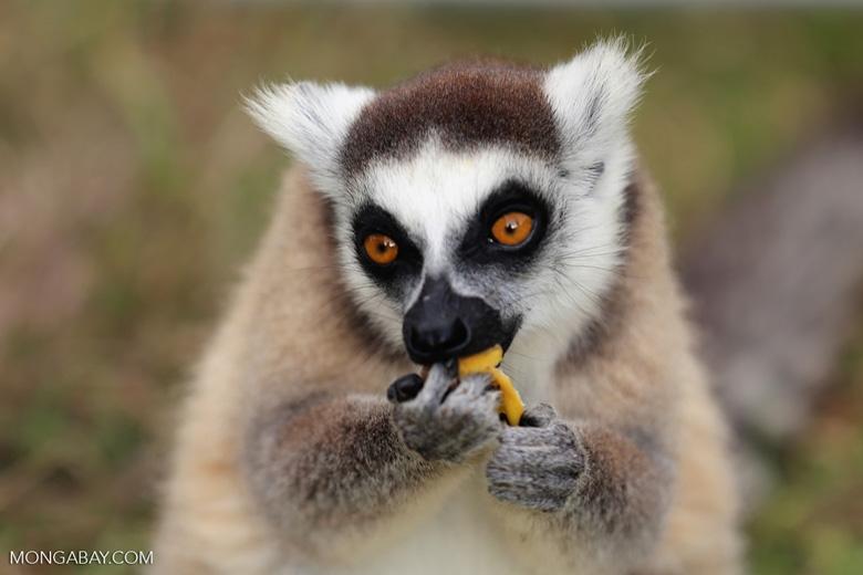 Ring-tailed lemur (Lemur catta) [madagascar_lemurs_0017]