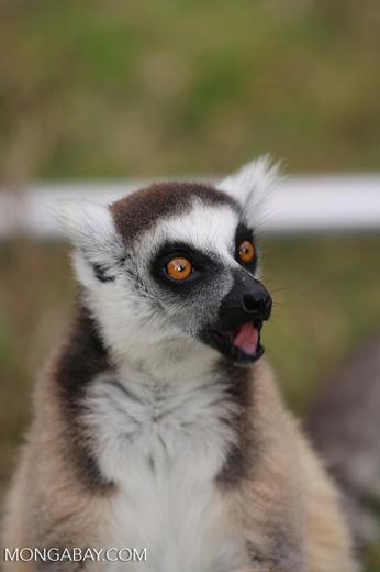 Ring-tailed lemur (Lemur catta) [madagascar_lemurs_0019]