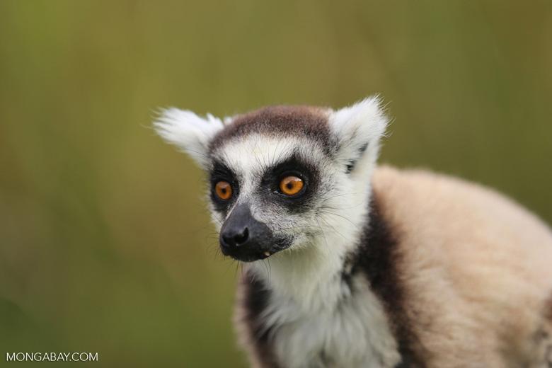 Ring-tailed lemur (Lemur catta) [madagascar_lemurs_0024]