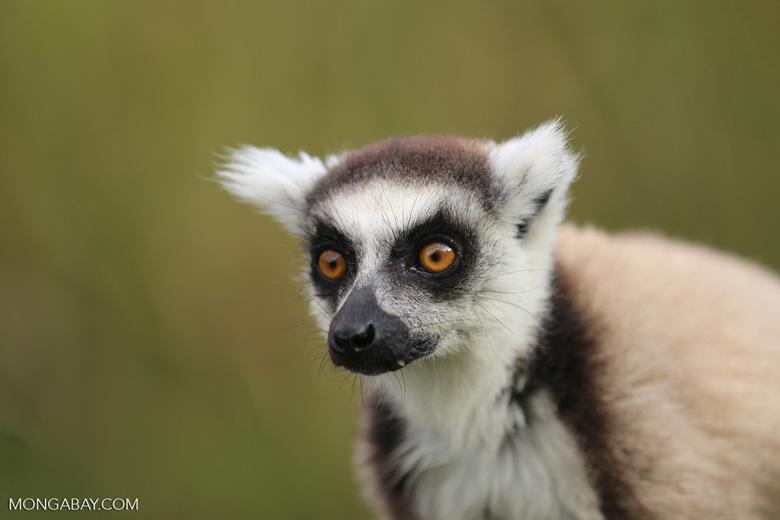 Ring-tailed lemur (Lemur catta) [madagascar_lemurs_0025]
