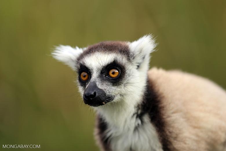 Ring-tailed lemur (Lemur catta) [madagascar_lemurs_0026]