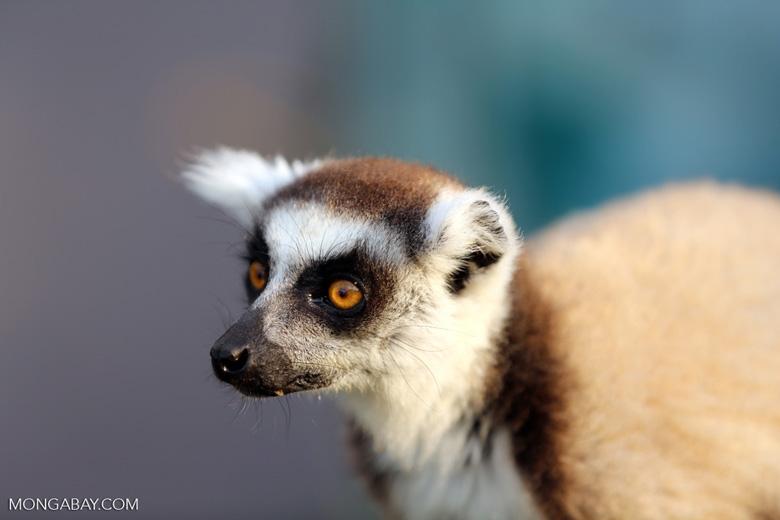 Ring-tailed lemur (Lemur catta) [madagascar_lemurs_0029]