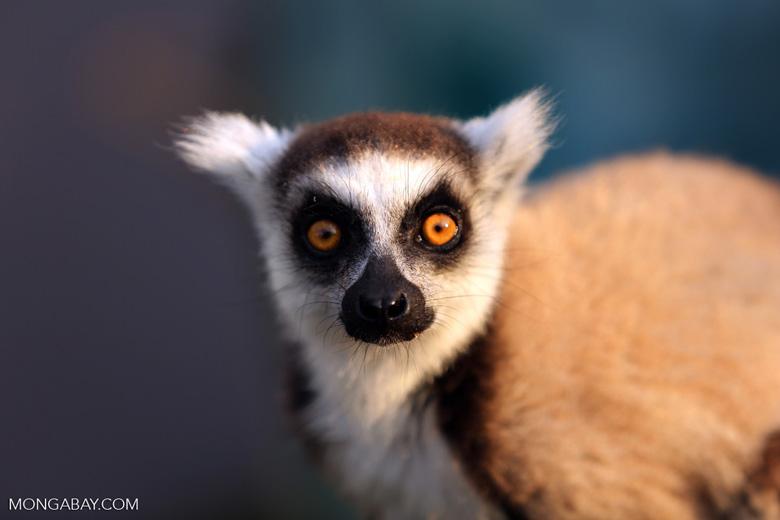 Ring-tailed lemur (Lemur catta) [madagascar_lemurs_0030]