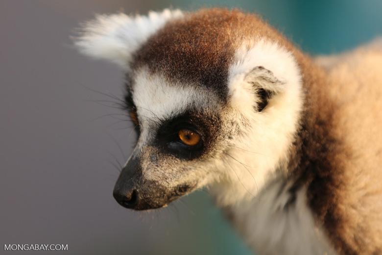 Ring-tailed lemur (Lemur catta) [madagascar_lemurs_0032]