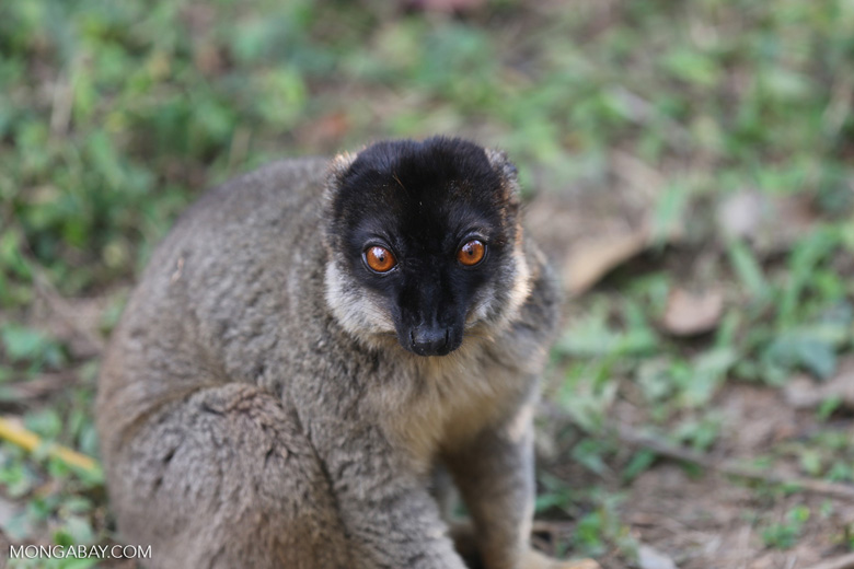 Common brown lemur (Eulemur fulvus) [madagascar_lemurs_0049]