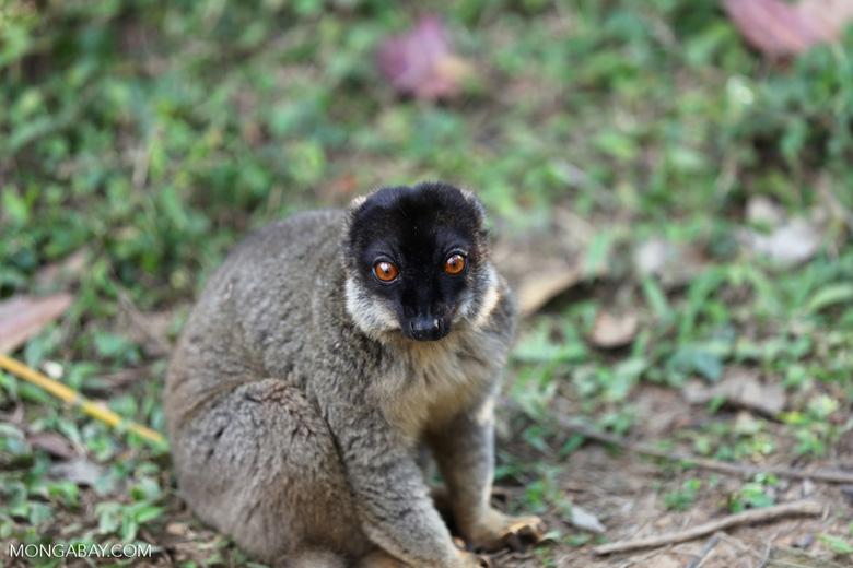 Common brown lemur (Eulemur fulvus) [madagascar_lemurs_0054]