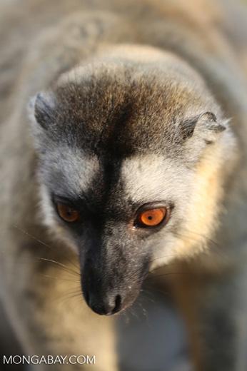 Female Common brown lemur (Eulemur fulvus) [madagascar_lemurs_0061]