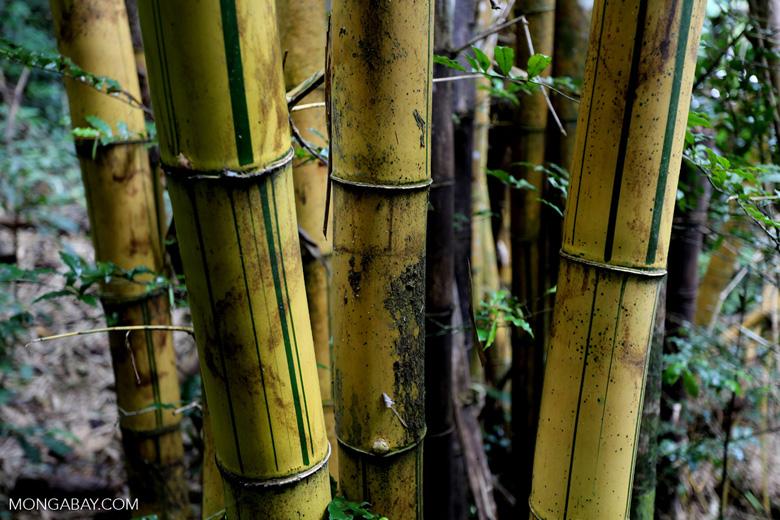 Bamboo in Madagascar [madagascar_maroantsetra_0041]