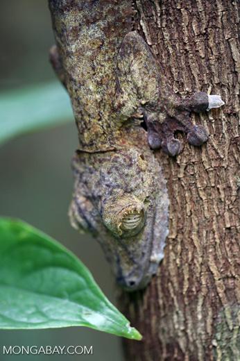 Uroplatus fimbriatus gecko [madagascar_maroantsetra_0046]