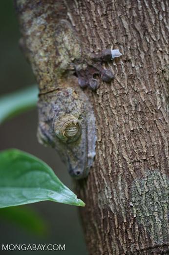 Uroplatus fimbriatus gecko [madagascar_maroantsetra_0047]