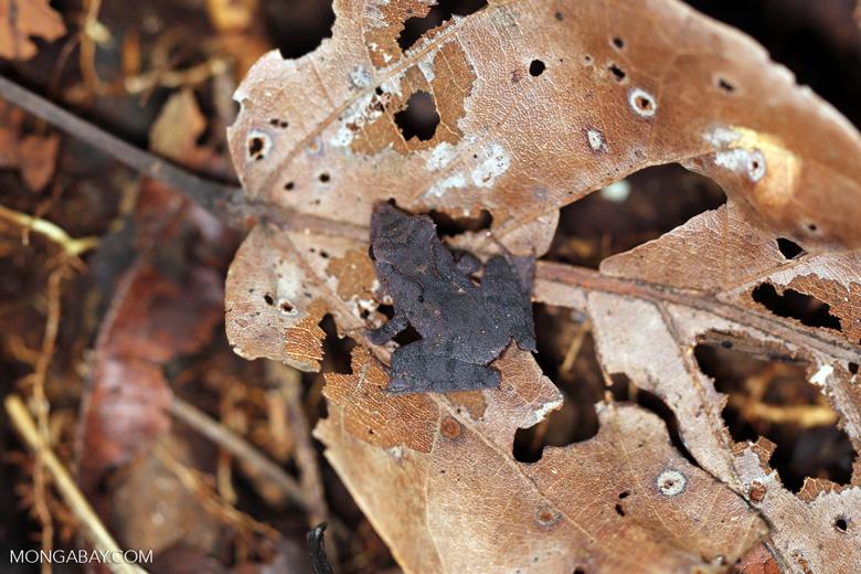 Frog [madagascar_maroantsetra_0097]
