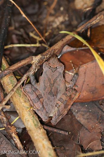 Frog [madagascar_maroantsetra_0102]