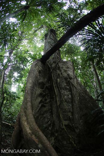 Nosy Mangabe rainforest [madagascar_maroantsetra_0111]