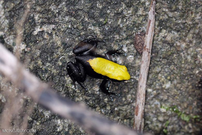 Climbing Mantella (Mantella laevigata) frog [madagascar_maroantsetra_0120]