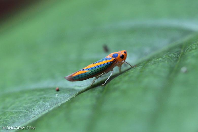 Orange planthopper [madagascar_maroantsetra_0134]