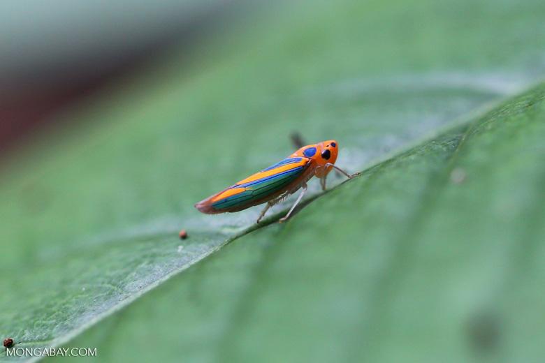 Orange planthopper [madagascar_maroantsetra_0138]