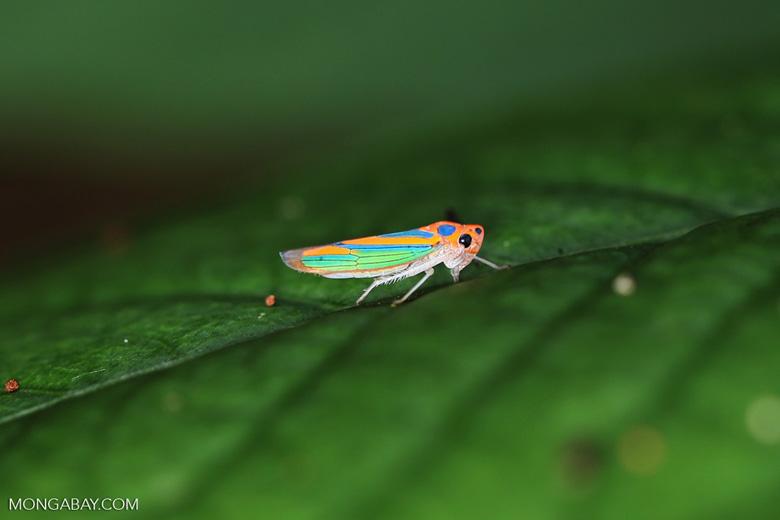 Orange planthopper [madagascar_maroantsetra_0144]