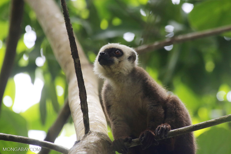 White-Fronted Brown Lemur (Eulemur albifrons) [madagascar_maroantsetra_0171]