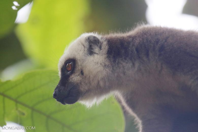White-headed Lemur (Eulemur albifrons)