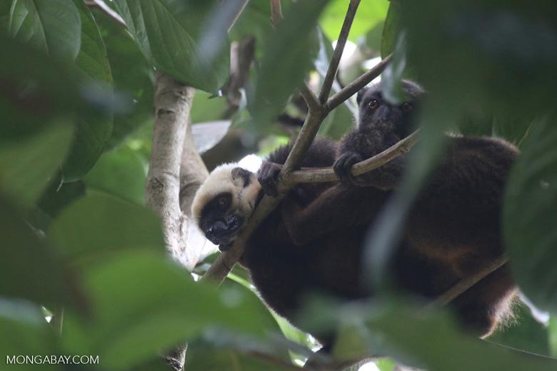 White-headed Brown Lemur on Nosy Mangabe