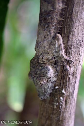 Giant leaf-tailed gecko, Uroplatus fimbriatus [madagascar_maroantsetra_0196]