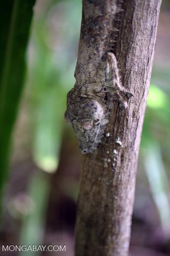 Giant leaf-tailed gecko, Uroplatus fimbriatus [madagascar_maroantsetra_0198]
