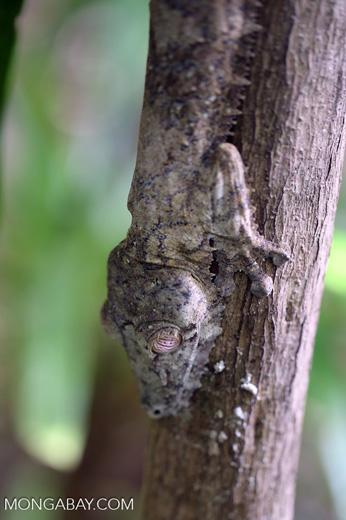 Giant leaf-tailed gecko, Uroplatus fimbriatus [madagascar_maroantsetra_0199]