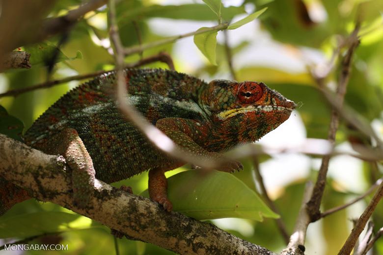 Pardalis chameleon [madagascar_masoala_0002]