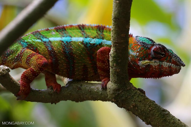 Pardalis chameleon [madagascar_masoala_0006]