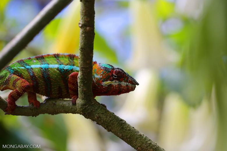 Pardalis chameleon [madagascar_masoala_0011]