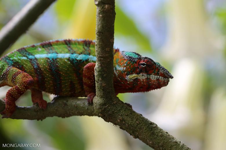 Pardalis chameleon [madagascar_masoala_0013]