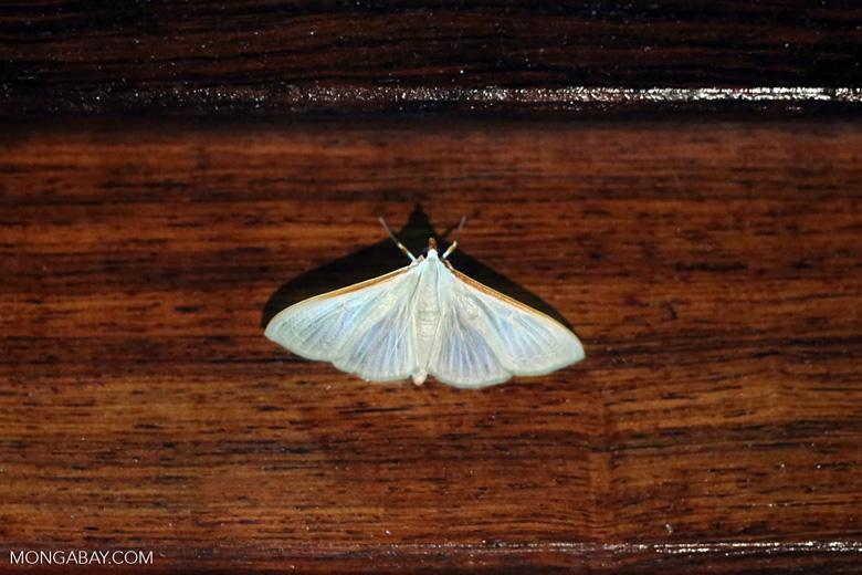 Moth [madagascar_masoala_0085]