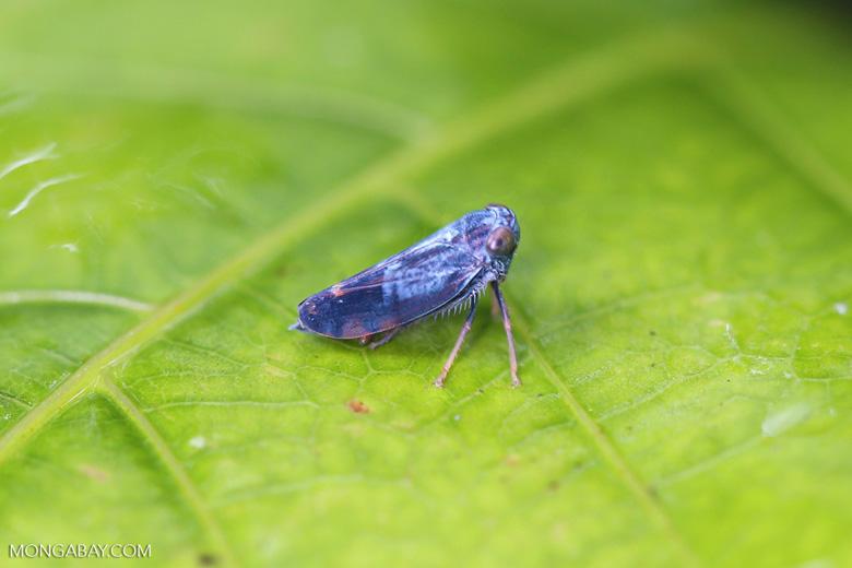 Blue planthopper [madagascar_masoala_0111]