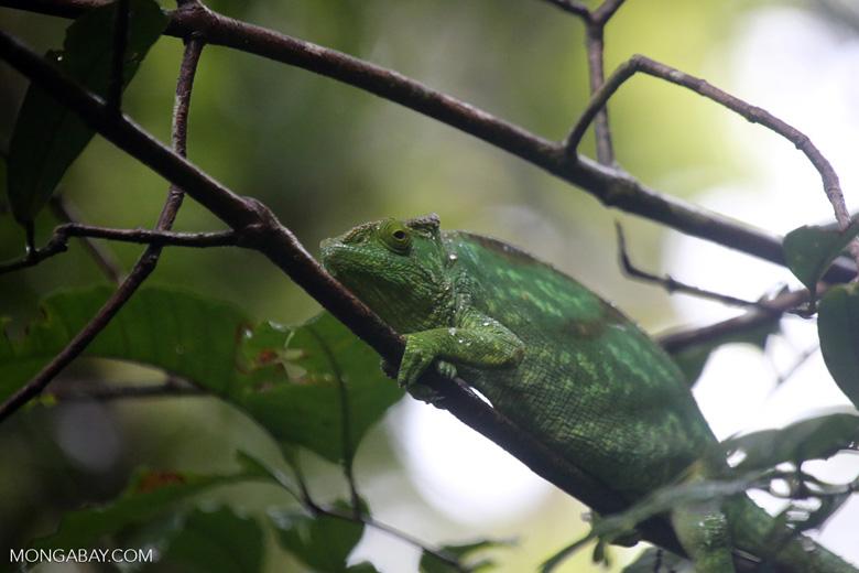 Parson's chameleon [madagascar_masoala_0148]