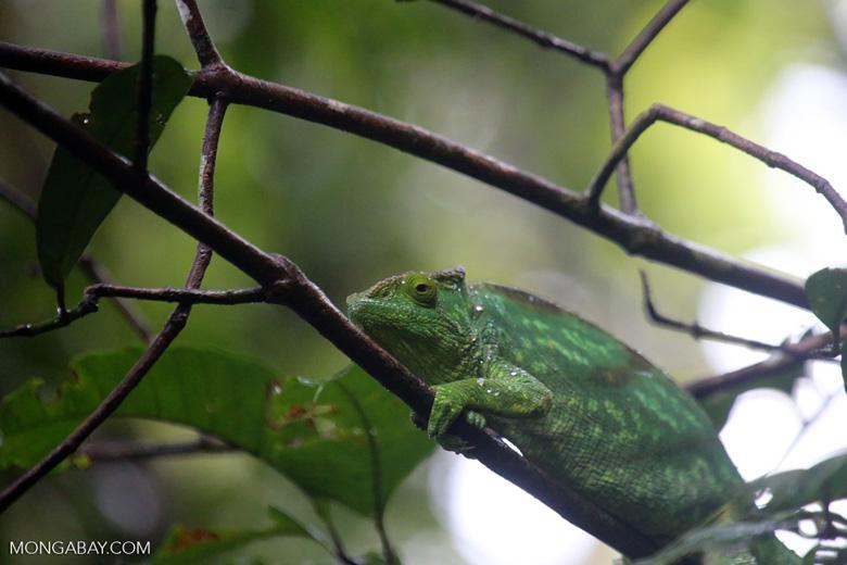 Parson's chameleon [madagascar_masoala_0149]