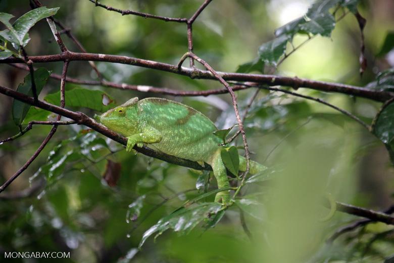 Parson's chameleon [madagascar_masoala_0152]