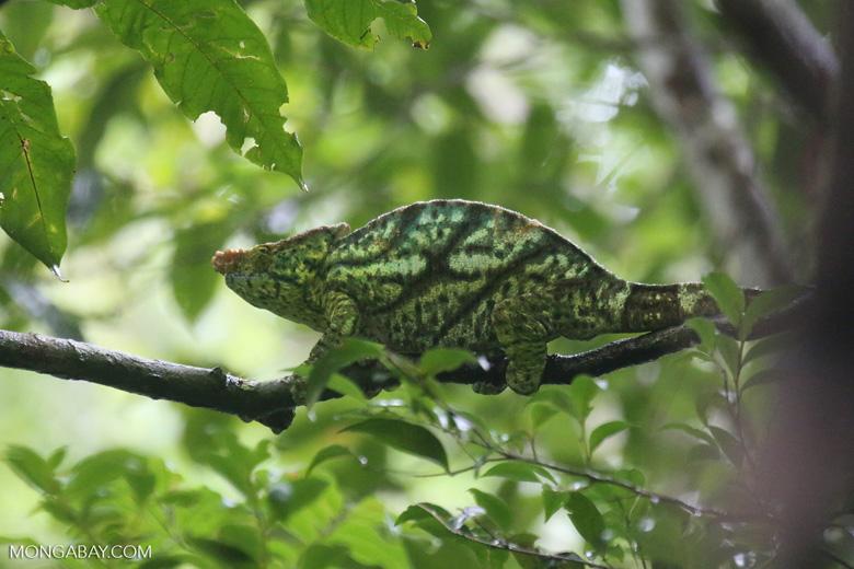 Parson's chameleon [madagascar_masoala_0159]