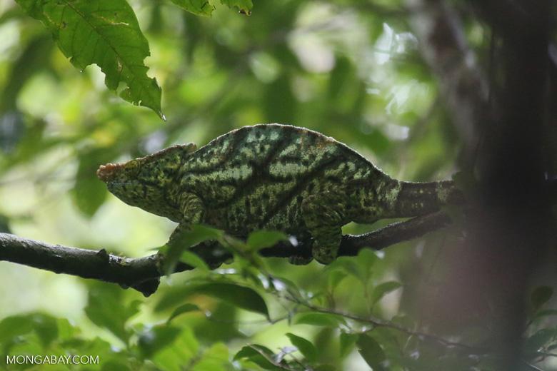 Parson's chameleon [madagascar_masoala_0161]
