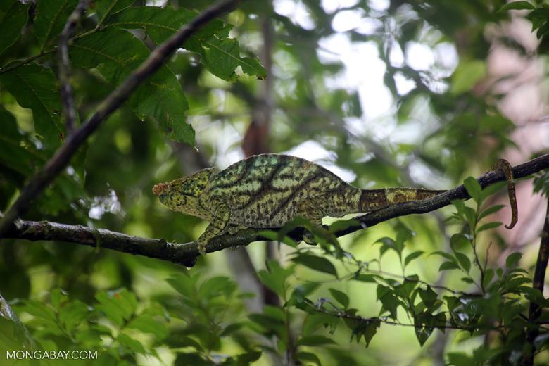 Parson's chameleon [madagascar_masoala_0169]