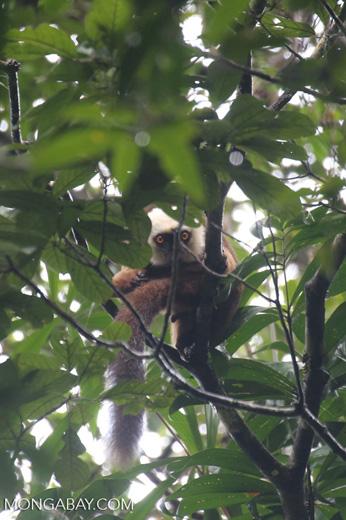 Male white-fronted lemur (Eulemur albifrons)