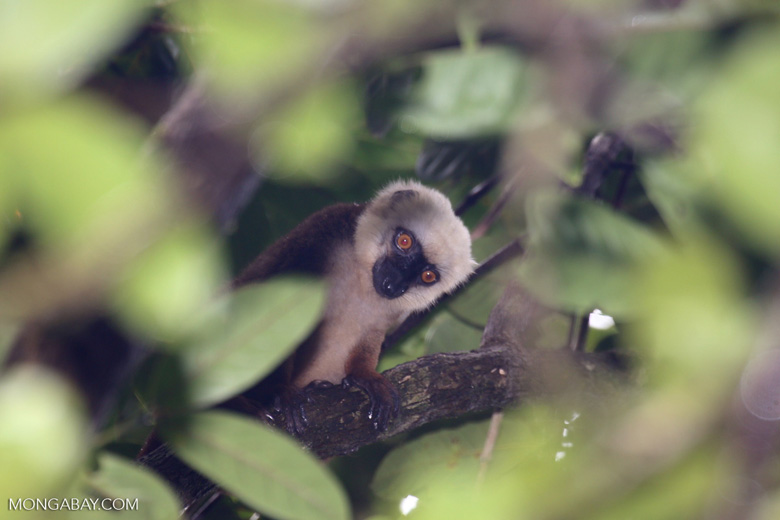 White-fronted brown lemur (Eulemur albifrons) [madagascar_masoala_0185]
