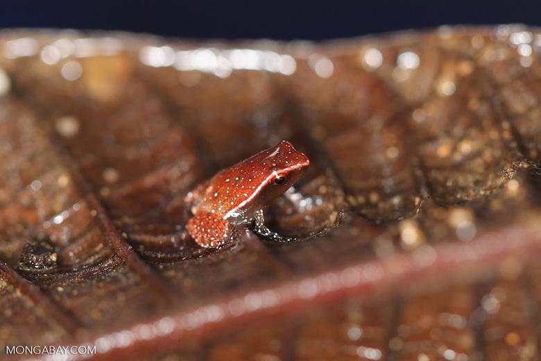 Plethodontohyla notosticta - brown frog with turquoise spots [madagascar_masoala_0201]