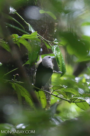 Bird [madagascar_masoala_0243]