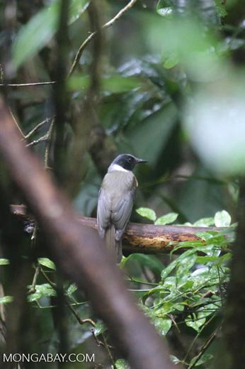 Bird [madagascar_masoala_0248]