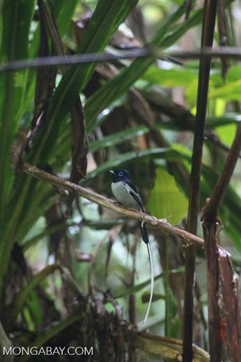 Male Madagascar paradise flycatcher [madagascar_masoala_0257]