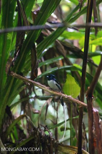 Male Madagascar paradise flycatcher [madagascar_masoala_0258]