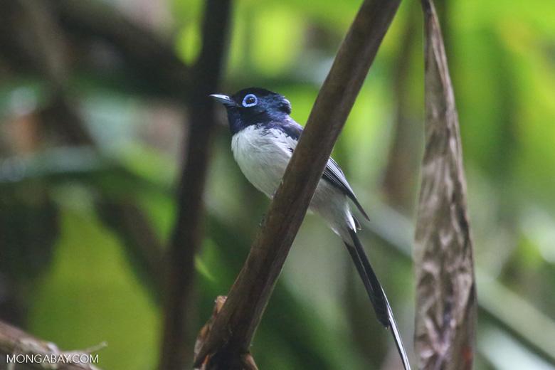 Male Madagascar paradise flycatcher [madagascar_masoala_0259]