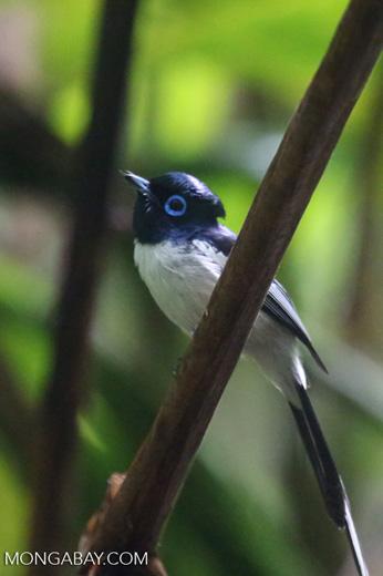 Male Madagascar paradise flycatcher [madagascar_masoala_0264]