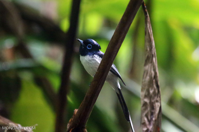 Male Madagascar paradise flycatcher [madagascar_masoala_0265]