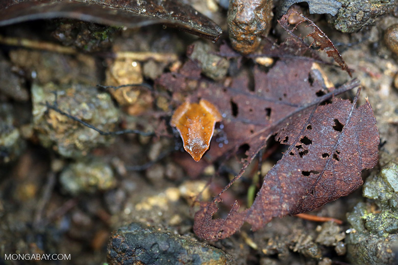 Plethodontohyla notosticta frog [madagascar_masoala_0270]